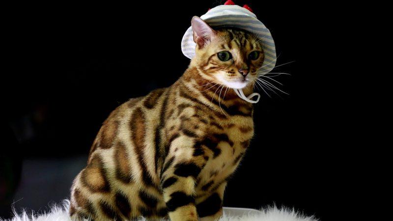 Le Bengal, une race de chat plutôt rare