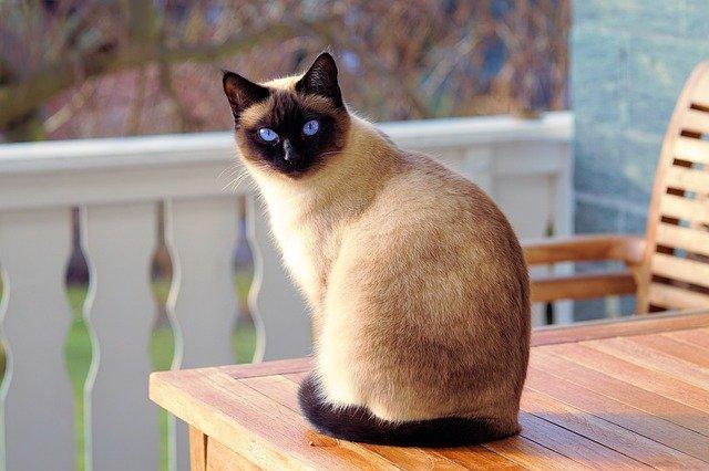 Comment nourrir son chat Siamois Thaï ?