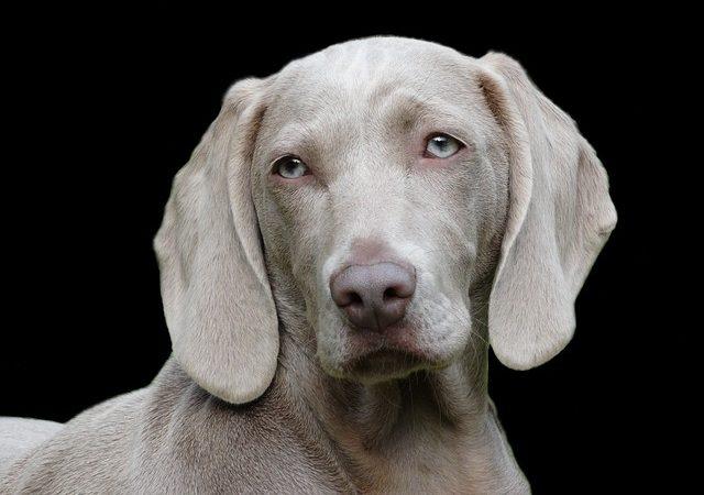 Choisir son chien de compagnie, verifier sa race